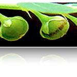 งานวิจัย ลูกใต้ใบ ช่วยคนไทยห่างไกลโรคตับ ตอนที่ 7 ทำไมต้อง Phyllanthus amarus