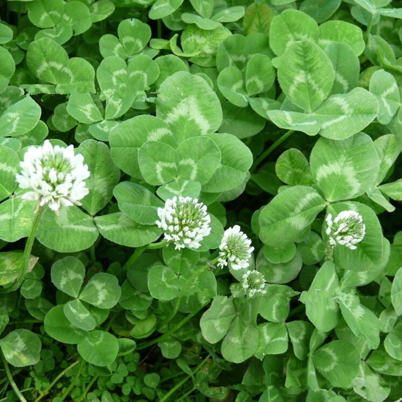White Clover Flower Seeds Long Lasting Perennial 100
